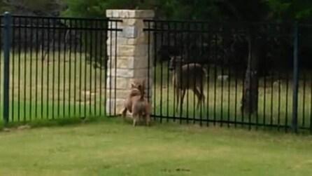 Zeke, il bull terrier che ama correre con un cervo