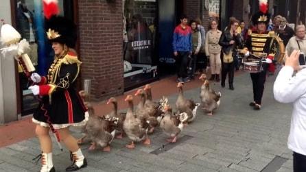 Olanda, spettacolare marcia delle anatre