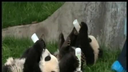 Dolcissimi panda fanno colazione sul prato