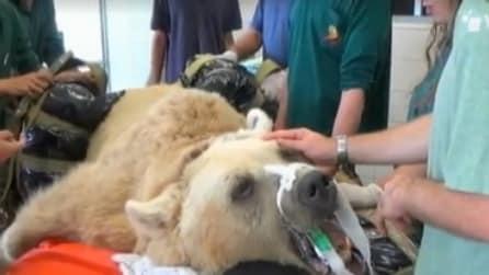 Equipe di veterinari effettua un delicato intervento su un orso di 113 kg