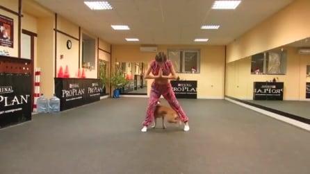 Il Pitbull che balla insieme ad una danzatrice del ventre