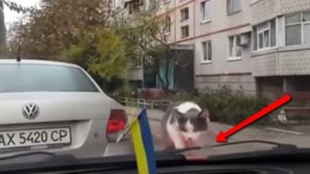Ecco come reagisce un gatto spaventato dai tergicristalli