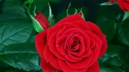 Come sboccia una rosa