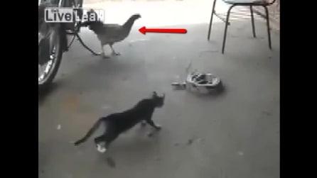 Ha paura delle galline, gatto schizza come una molla