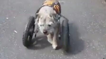 Hope, il Border Terrier che riesce a camminare grazie ad una carrozzina per cani