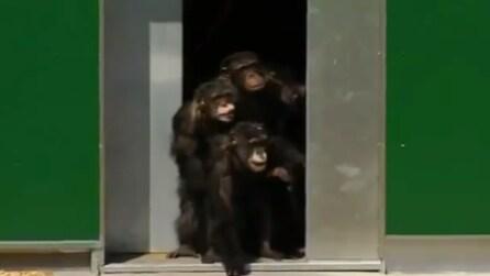 L'emozione degli scimpanzé che ritrovano la libertà dopo 30 anni di prigionia
