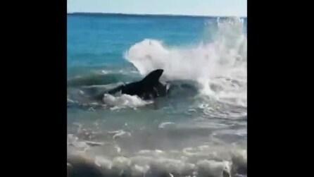 Un grosso squalo bianco prova a mangiare un leone marino ma muore strozzato