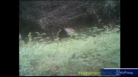 Ecco come i panda marcano il territorio