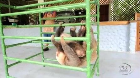 Nutriti e coccolati, il paradiso dei bradipi è in Costa Rica