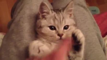 La tenera gattina che sembra un pupazzo