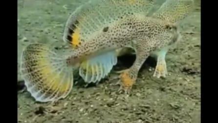Un raro pesce con le zampe, che vive in Australia e Tasmania
