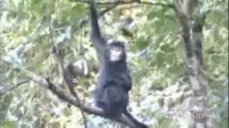 Nuova specie di scimmia scoperta nel Sud della Cina