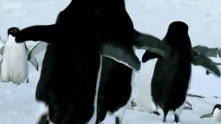 Avvistati pinguini volanti!