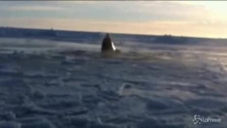 Canada, un gruppo di orche intrappolate nel ghiaccio