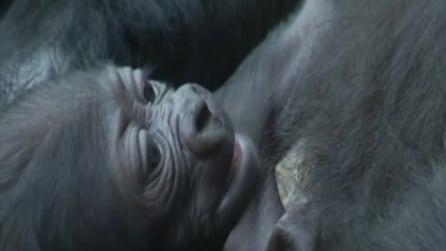 Il cucciolo di gorilla diventa subito una star