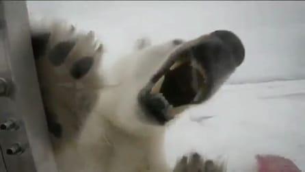 Un orso polare aggredisce il giornalista della BBC