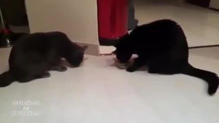 Due gattini lottano per la ciotola del cibo