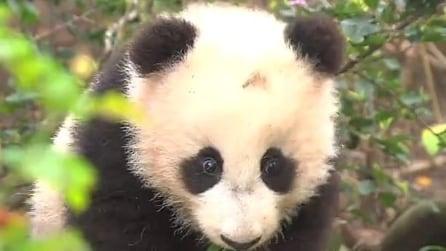 Il debutto da star del baby panda ripreso da centinaia di giornalisti