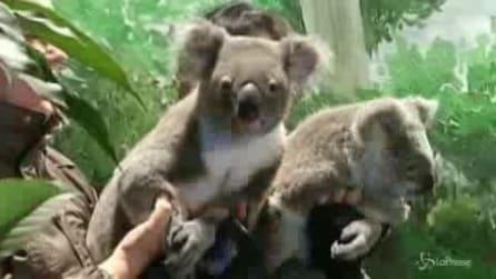 Cina, koala australiani in trasferta per favorire nuove nascite