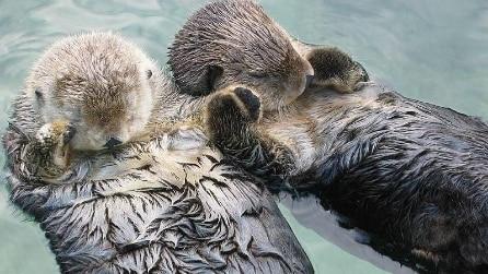 Due lontre si tengono per mano (zampa)
