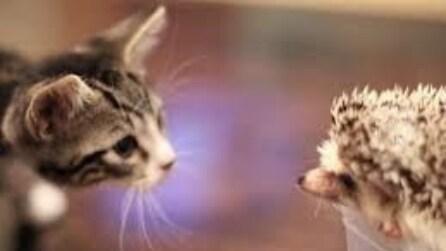 Il dolce incontro tra un gattino e un riccio