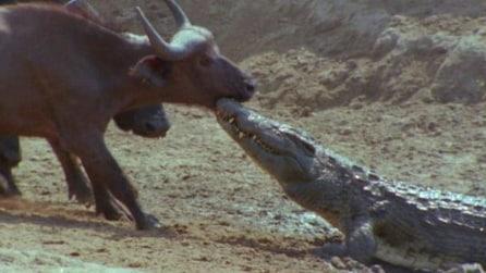 Bufalo vs coccodrillo, il bufalo in difficoltà ma arriva l'amico a salvarlo