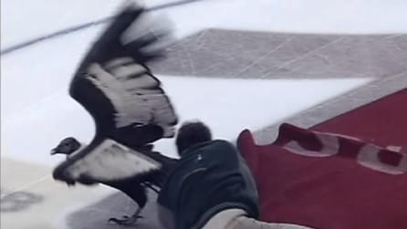 Un condor impazzisce durante la partita di hockey