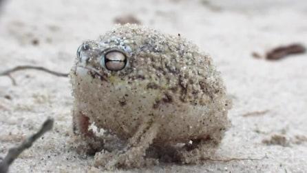 Una rana che cinguetta, la piccolissima Namaqua rain