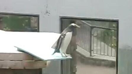 Un pinguino fifone, ha paura di tuffarsi in acqua