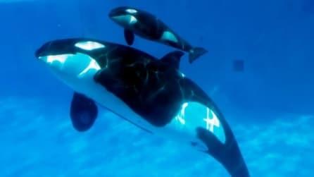 L'emozionante nascita di una piccola orca allo zoo