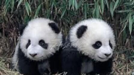 Cina, i panda si tengono in forma esercitandosi a pranzo