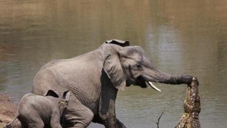 Un elefante attaccato da un coccodrillo alla proboscide