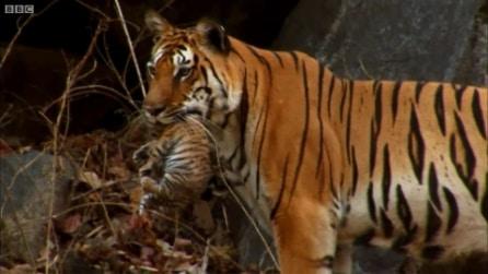 Un evento rarissimo, tigre selvatica filmata con i suoi cuccioli