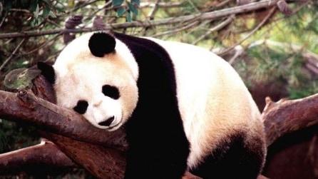 Un panda gigante come una star in Cina, fotografato mentre fa la siesta