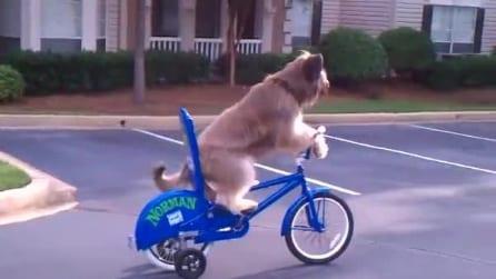 Norman, il cane ciclista che pedala come un umano