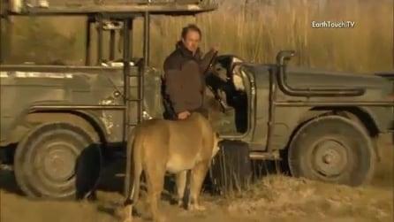 Fotografo impietrito dal terrore, incontro ravvicinato con una leonessa