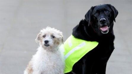 Milo, il cane-guida per l'amico labrador cieco