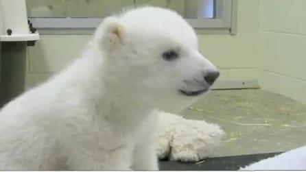 Un orsetto polare resta orfano, ma viene salvato dal cacciatore