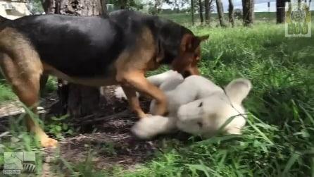 """Un cucciolo di leone bianco e un cane """"amici inseparabili"""""""
