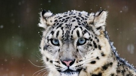 Mongolia, scoperto raro esemplare leopardo delle nevi
