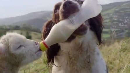 Chop il cane che da il biberon alla pecorella