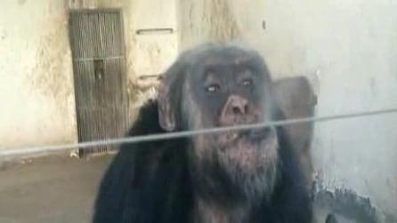 Scimpanzé fuma due sigarette per ammazzare il tempo