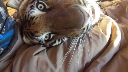 Enzo la tigre che dorme sul letto con il suo padrone