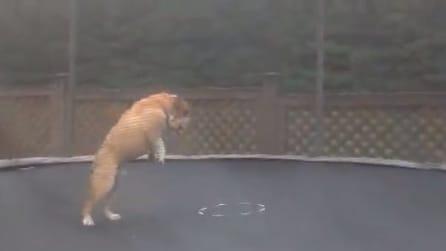 Un Bulldog salta e si diverte sul tappeto elastico