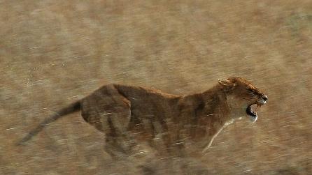 Il leone a rischio estinzione in Kenya
