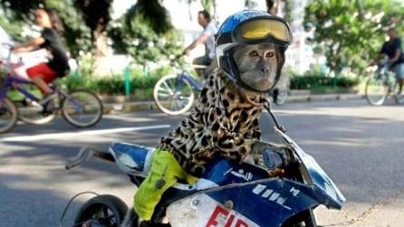 La scimmia motociclista vive in Indonesia