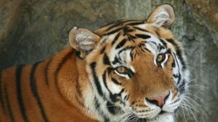 Indonesia, tigre in zoo Surabaya rischia la morte per malattia misteriosa