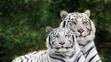 Giappone, quattro cuccioli di tigre bianca si presentano al pubblico dello zoo di Tobu
