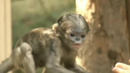 Cina, straordinaria nascita di cucciolo di scimmia dal naso camuso a Pechino