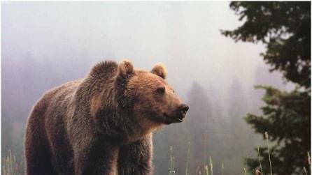 Una giornata con un Grizzly: incontro ravvicinato col grande orso